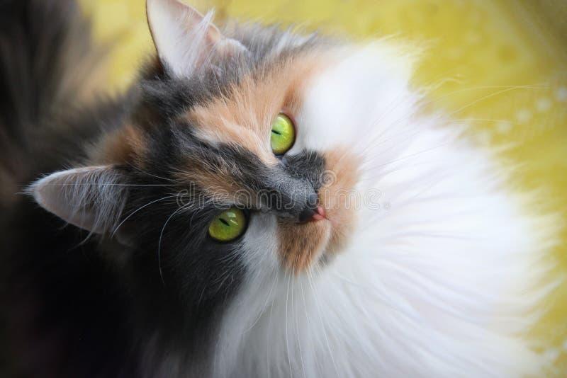 Un gato tricolor fotografía de archivo