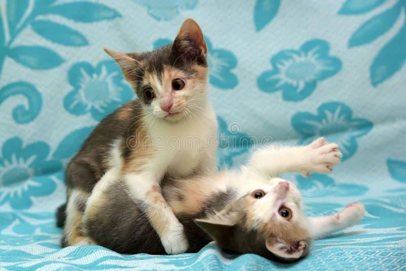 Un gattino di due tricromie che gioca insieme fotografia stock libera da diritti