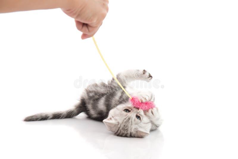 Un gattino grigio del soriano che gioca con un giocattolo immagine stock libera da diritti