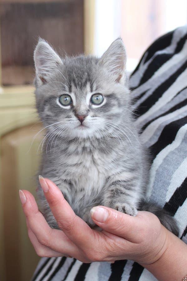 Un gattino grigio sulla palma fotografie stock