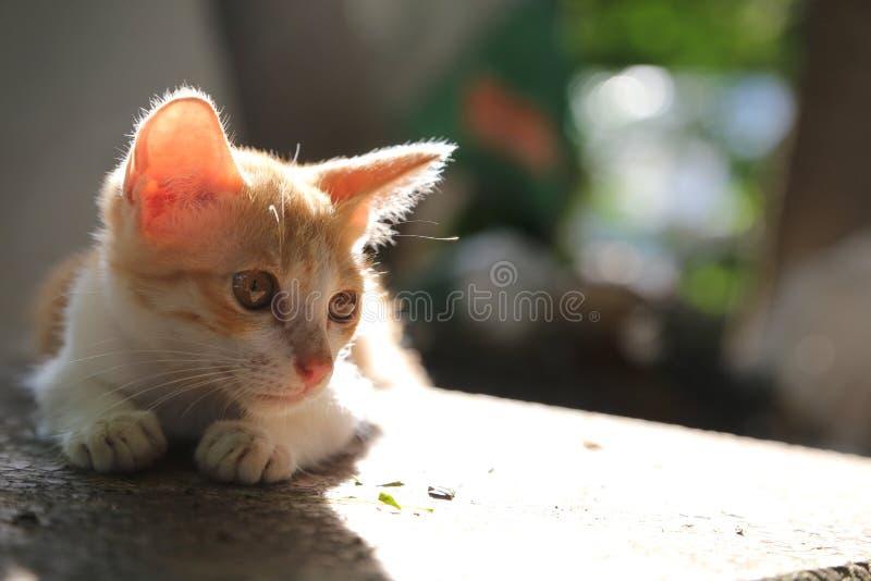 Un gattino marrone sveglio cerca qualcosa sulla tavola fotografia stock