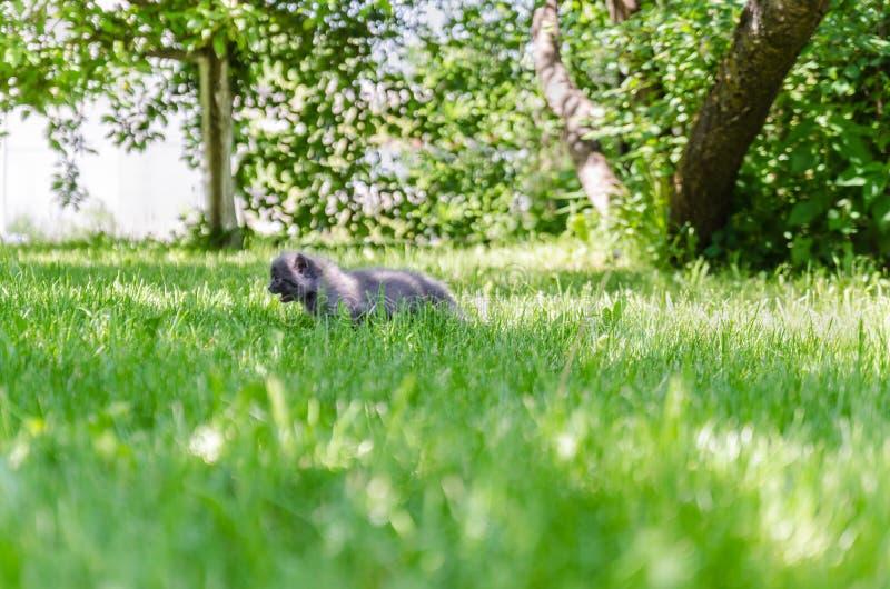 Un gattino sveglio impara intraprendere le prime azione indipendenti immagini stock libere da diritti