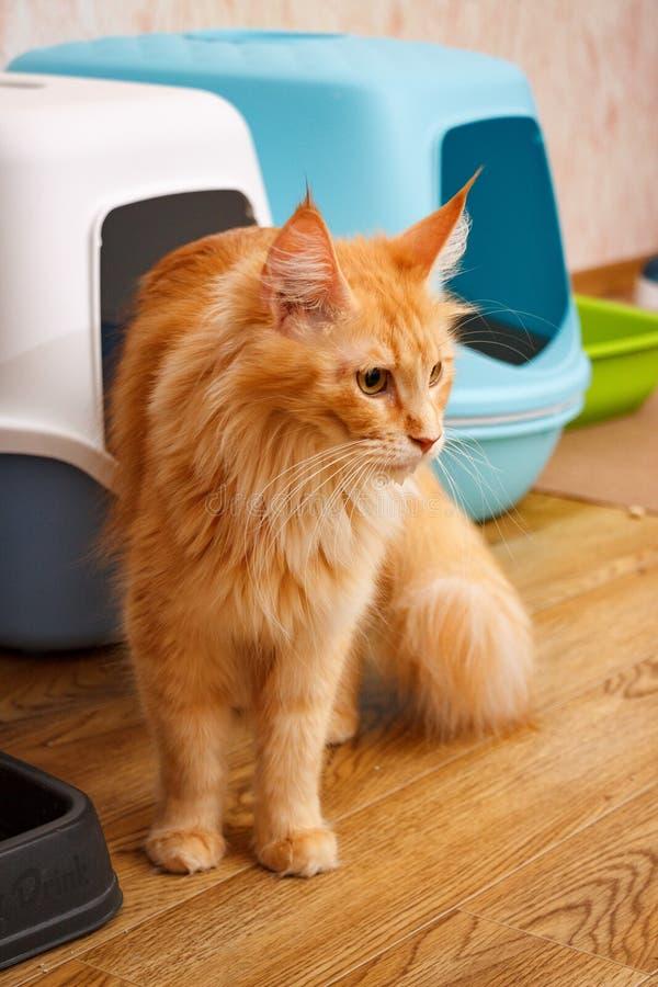 Un gatto adulto della razza di Maine Coon contro lo sfondo di una toilette del ` s del gatto Tigre di rosso di colore del gatto fotografia stock libera da diritti