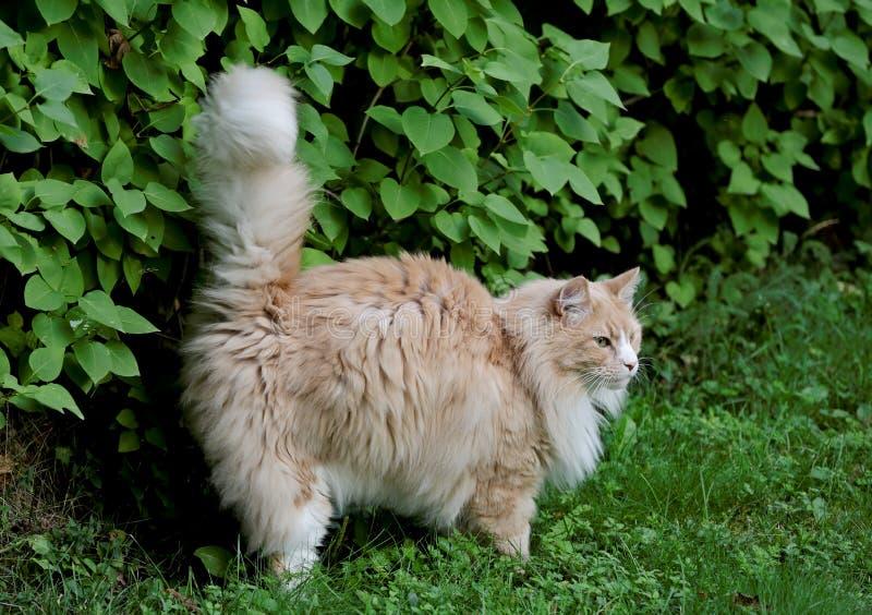 Un gatto all'aperto che spruzza i cespugli fotografia stock