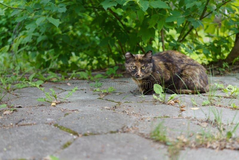 Un gatto animale senza tetto si siede intento sotto un cespuglio verde sulla via e sugli sguardi fissi fotografie stock