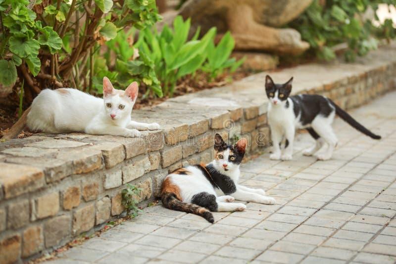 Un gatto arancio nero bianco di tre colori, trovantesi sulla pavimentazione in giardino, con due gatti più smarriti intorno lei immagine stock libera da diritti