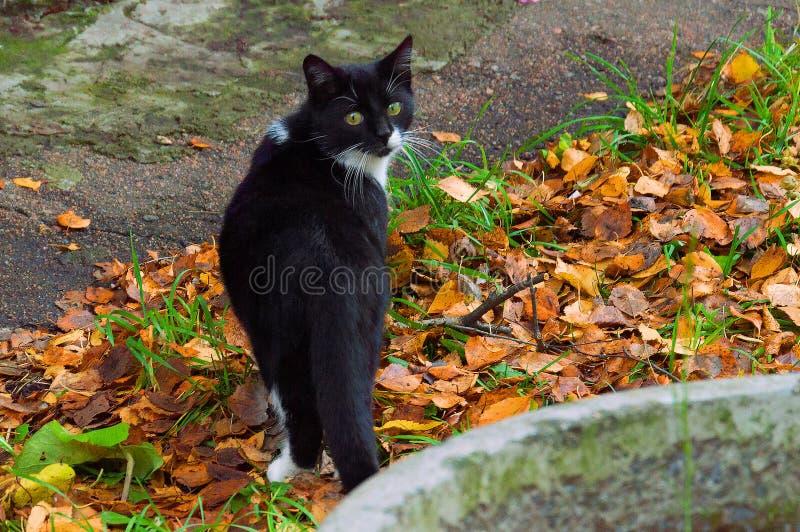 Un gatto in bianco e nero senza tetto coperto di foglie di autunno, vicino alla casa immagini stock