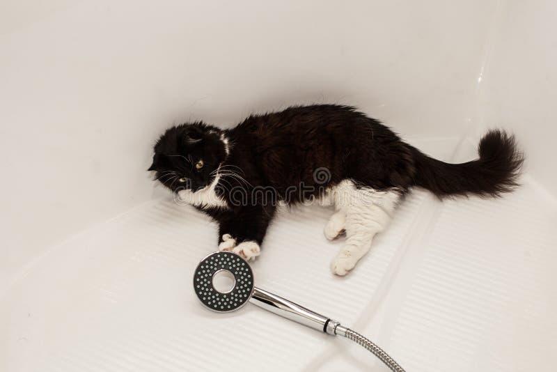 Un gatto in bianco e nero si trova nel bagno e nei giochi con la sua zampa con una doccia Timore del lavaggio dell'animale domest fotografie stock