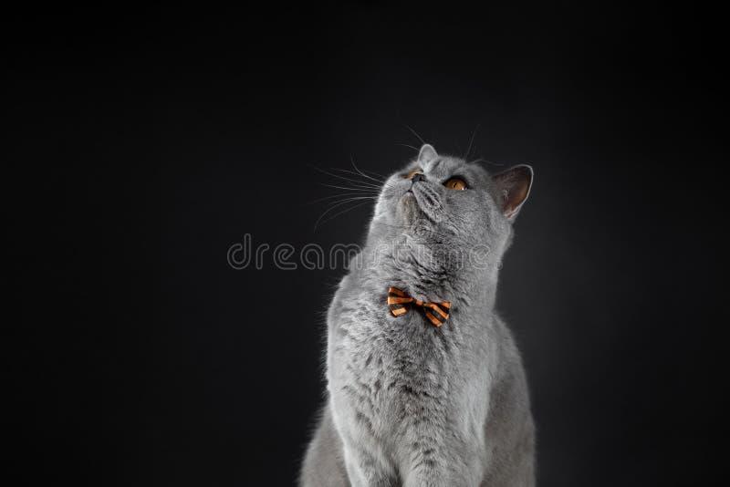 Un gatto britannico grigio sveglio in una cravatta a farfalla cerca Un gatto britannico grasso su un fondo nero Gatto sorpreso co fotografia stock libera da diritti