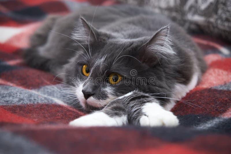 Un gatto calmo sta trovandosi su una coperta Specie di foresta norvegesi immagine stock libera da diritti