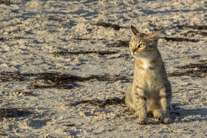Un gatto che si siede sulla spiaggia al tramonto immagini stock