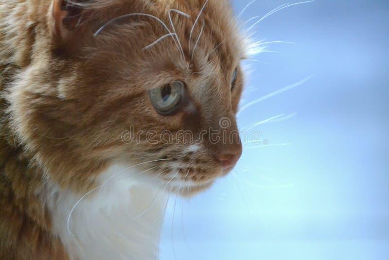 Un gatto dell'arancia fissa nella distanza immagine stock libera da diritti