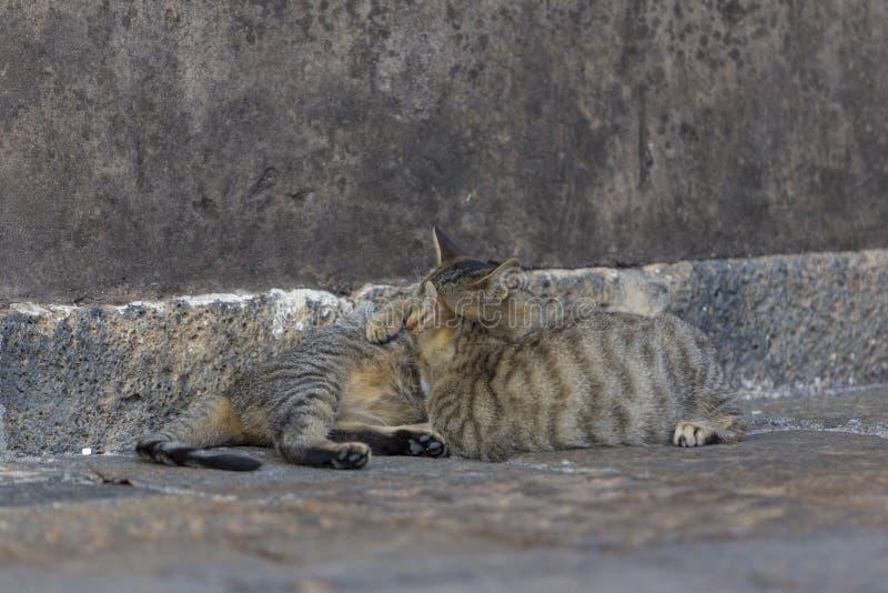 Un gatto della madre che alimenta il suo gatto del bambino fotografia stock libera da diritti
