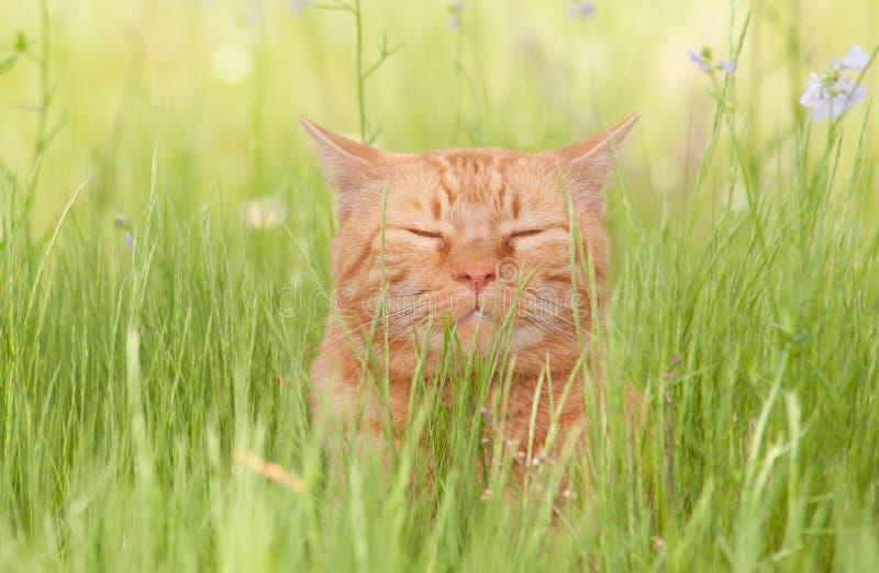 Un gatto di soriano arancio beato felice che gode della vita immagini stock libere da diritti