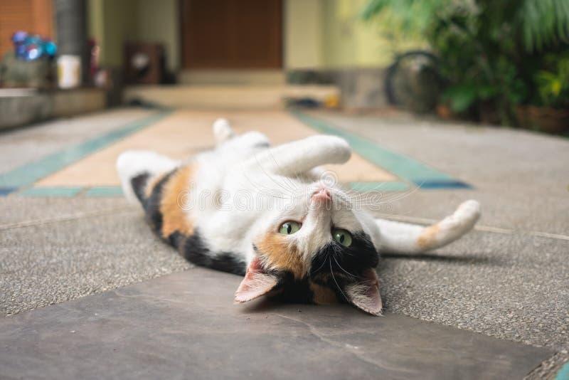 Un gatto di tre colori che gira rivolto verso l'alto mentre esaminando macchina fotografica e trovandosi sulla pavimentazione di  fotografia stock