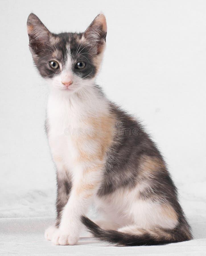 Un gatto di tre colori con differenti occhi colorati che si siedono e che esaminano macchina fotografica sul fondo bianco Eterocr immagine stock libera da diritti