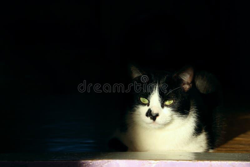 Un gatto di Tuxedo sdraiato nella stanza buia Animali da compagnia fotografia stock libera da diritti
