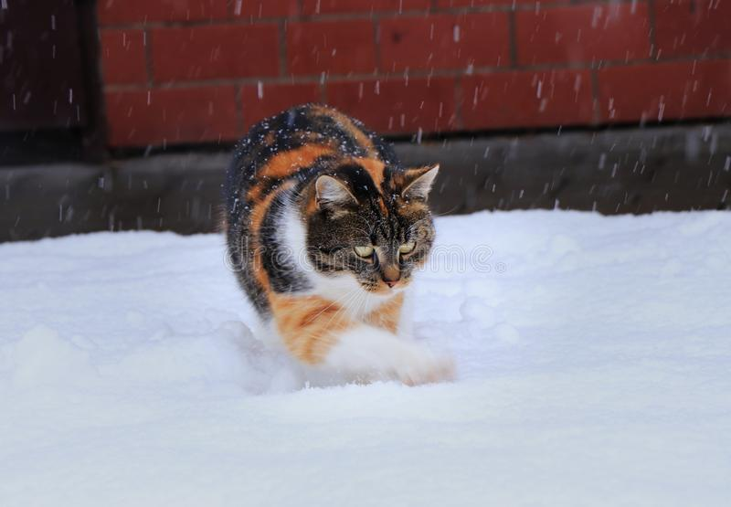 Un gatto domestico multicolore sta giocando con neve Ama la neve Lei che cerca i fiocchi di neve e che rastrella i fori sul giard fotografia stock libera da diritti