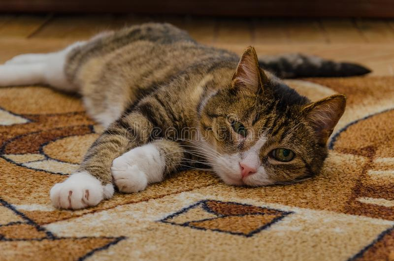 Un gatto domestico a strisce con un occhio irritato si trova su un tappeto colorato Il trattamento degli animali domestici immagine stock libera da diritti