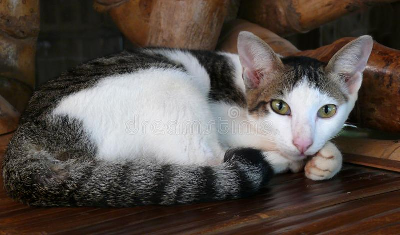 Un gatto domestico su una sedia di bambù immagini stock
