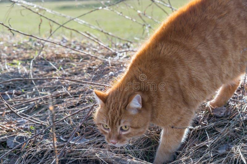 Un gatto fa una gobba e ritiene minacciato da un cane, Germania fotografie stock libere da diritti