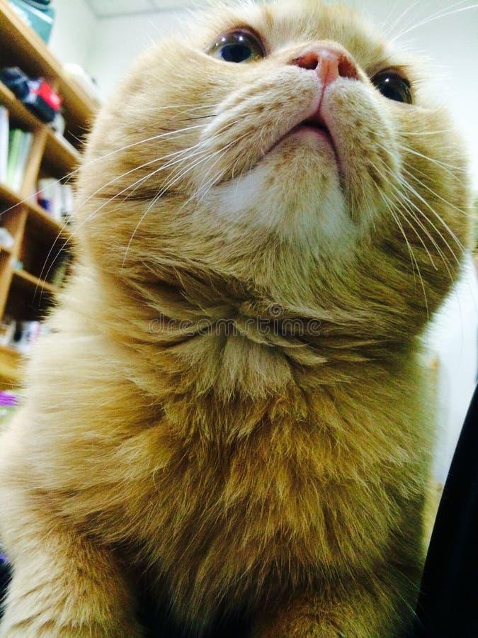Un gatto giallo dalla vista di angolo basso nella stanza fotografie stock