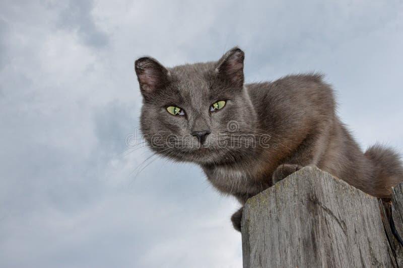 Un gatto grigio con gli occhi verdi senza l'estremità delle orecchie si siede su un palo di legno contro un cielo grigio fotografie stock libere da diritti