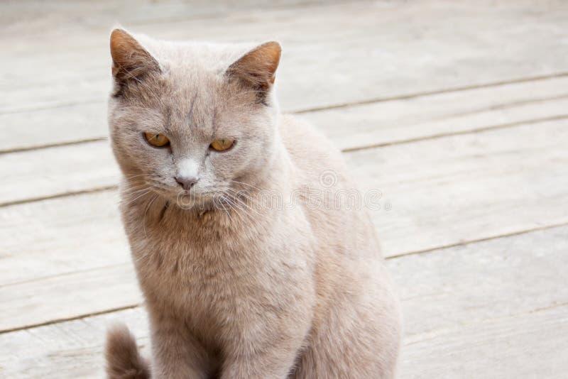 Un gatto grigio su un fondo neutrale immagini stock libere da diritti