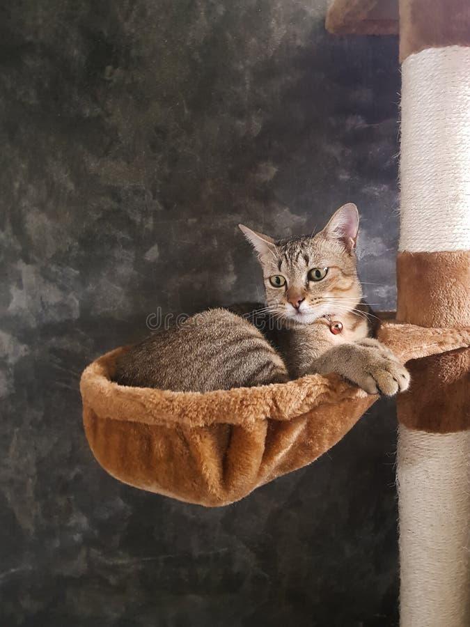 Un gatto grigio sveglio immagine stock libera da diritti