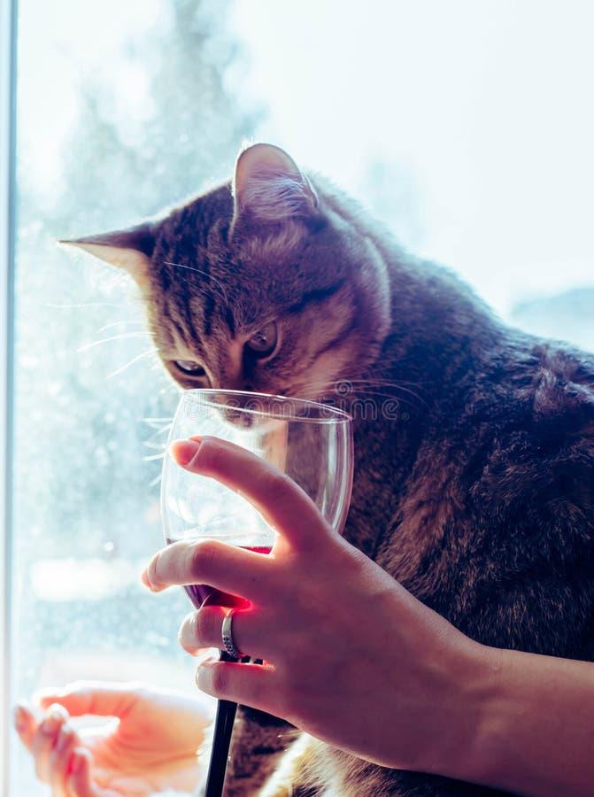 Un gatto guarda in un vetro di vino rosso fotografia stock libera da diritti