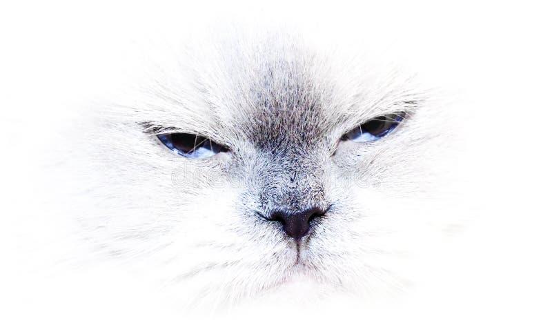 Un gatto himalayan del punto blu fotografia stock libera da diritti
