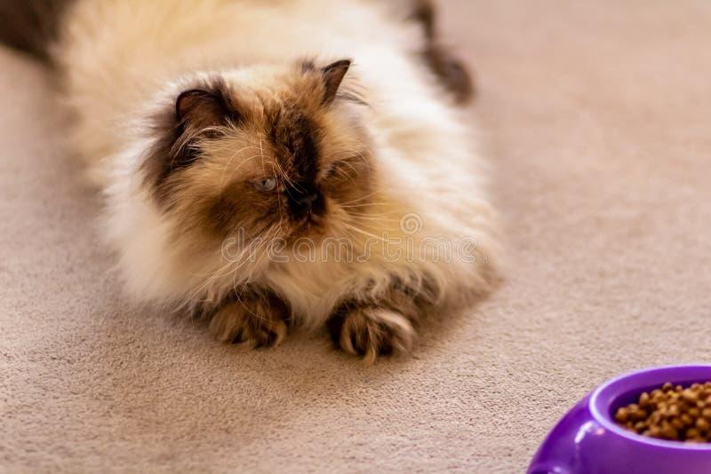 Un gatto himalayano osservato blu dai capelli lunghi del punto della guarnizione che mette sul pavimento fotografia stock libera da diritti