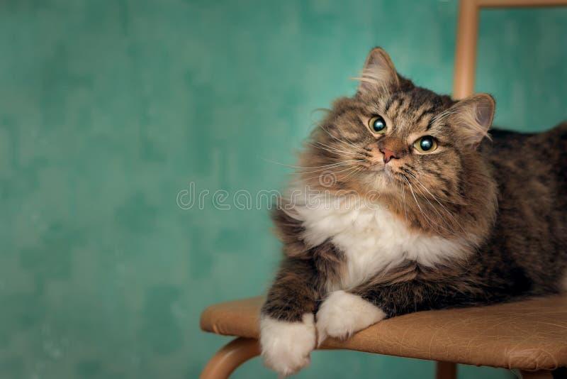 Un gatto lanuginoso divertente in calzini bianchi si trova su una sedia fotografie stock libere da diritti