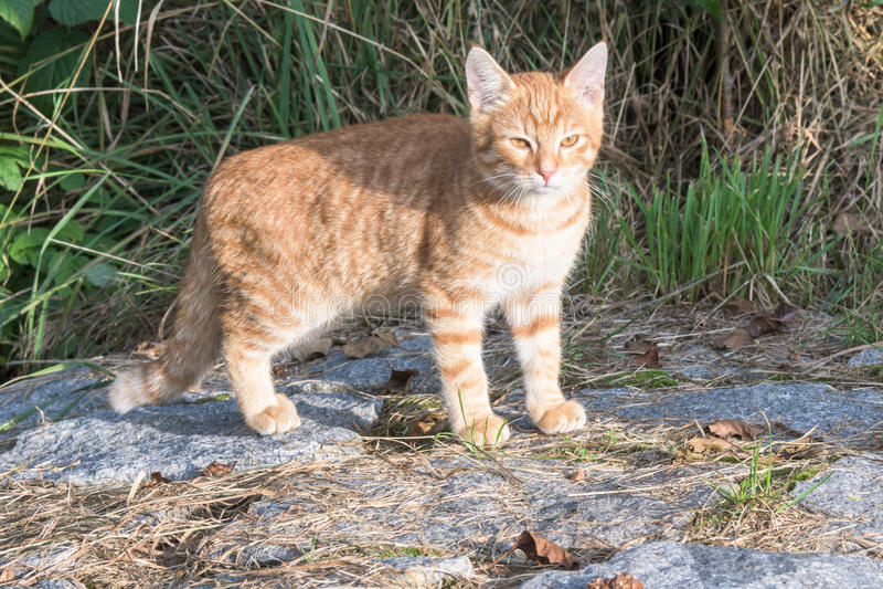 Un gatto marrone e bianco che controlla una roccia fotografie stock