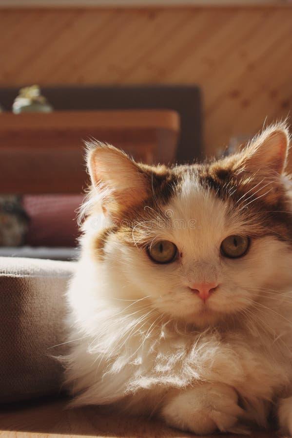 Un gatto nell'ambito della luce solare immagini stock