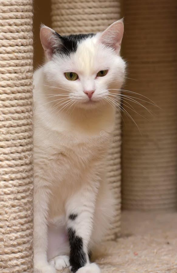 Un gatto nella casa dei gatti con un raschietto immagini stock libere da diritti