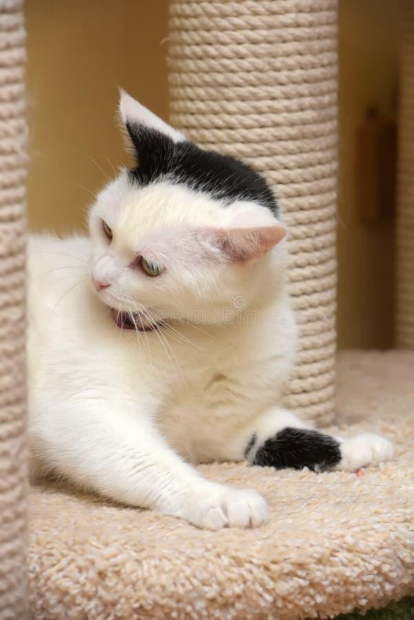 Un gatto nella casa dei gatti con un raschietto immagini stock