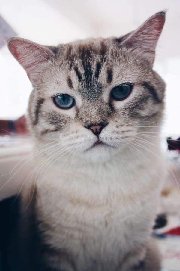Un gatto osservato blu fotografie stock