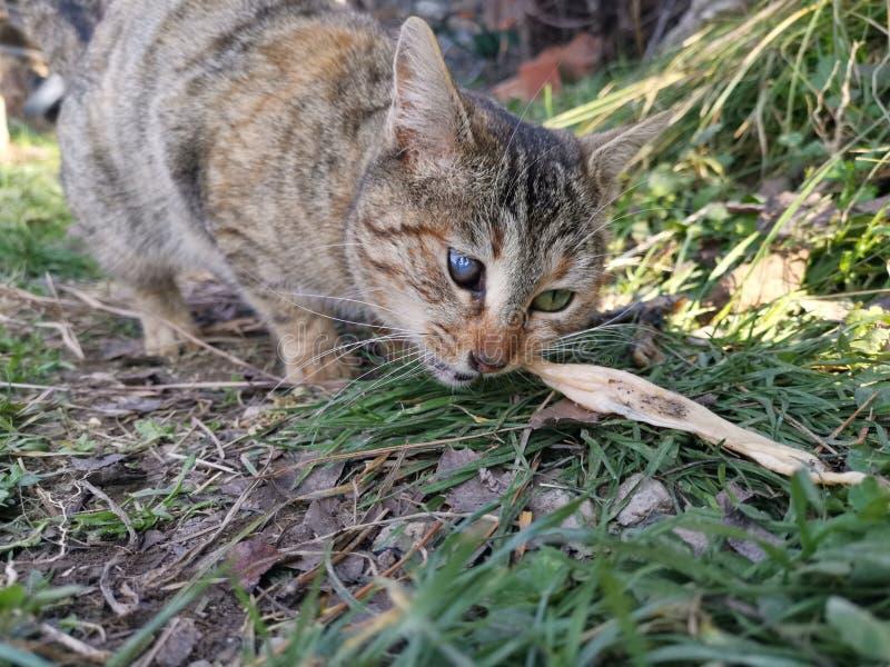 Un gatto osservato che prova a mangiare fotografia stock libera da diritti