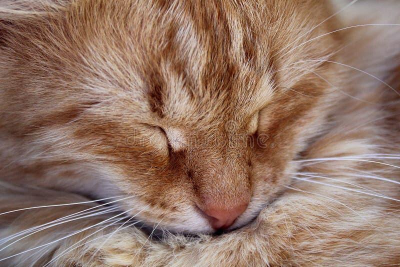 Un gatto rosso pone con gli occhi chiusi e dorme fotografia stock libera da diritti