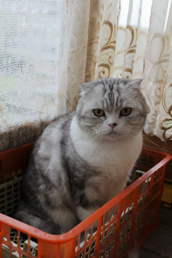 Un gatto scozzese nel canestro arancio fotografia stock