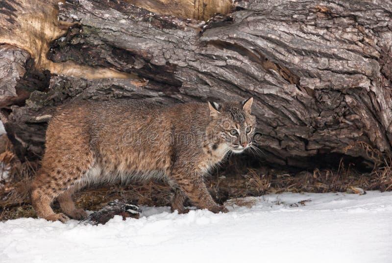 Gatto selvatico con le quaglie immagine stock