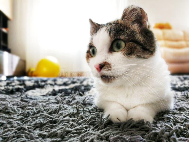 Un gatto senza tetto con le orecchie congelate si siede sulla via di estate fotografie stock libere da diritti
