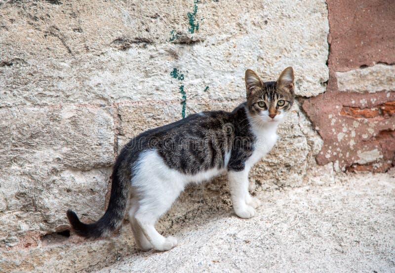 Un gatto senza tetto di Istambul che guarda la macchina fotografica fotografia stock libera da diritti