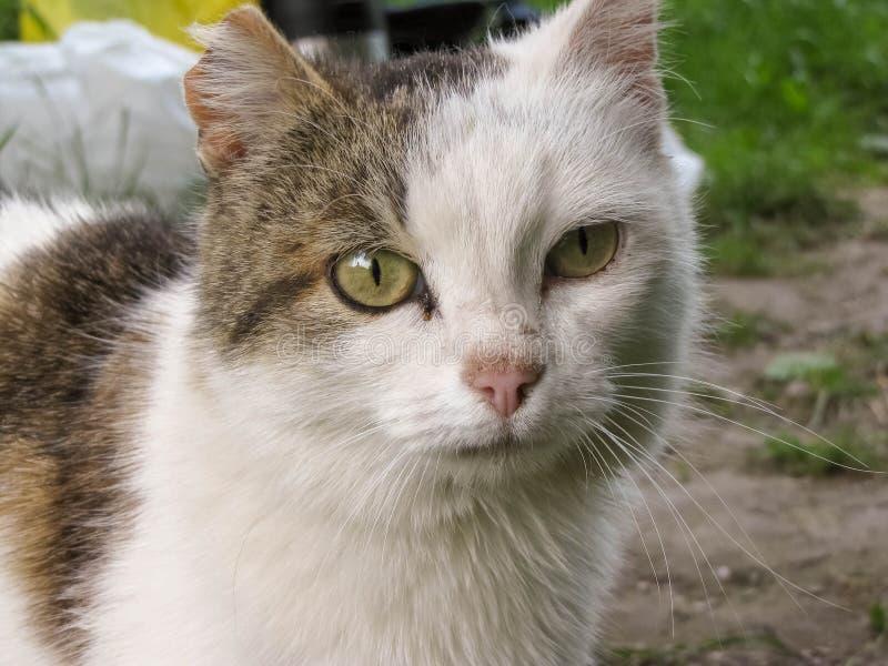 Un gatto senza tetto sveglio con l'orecchio lacerato immagini stock libere da diritti