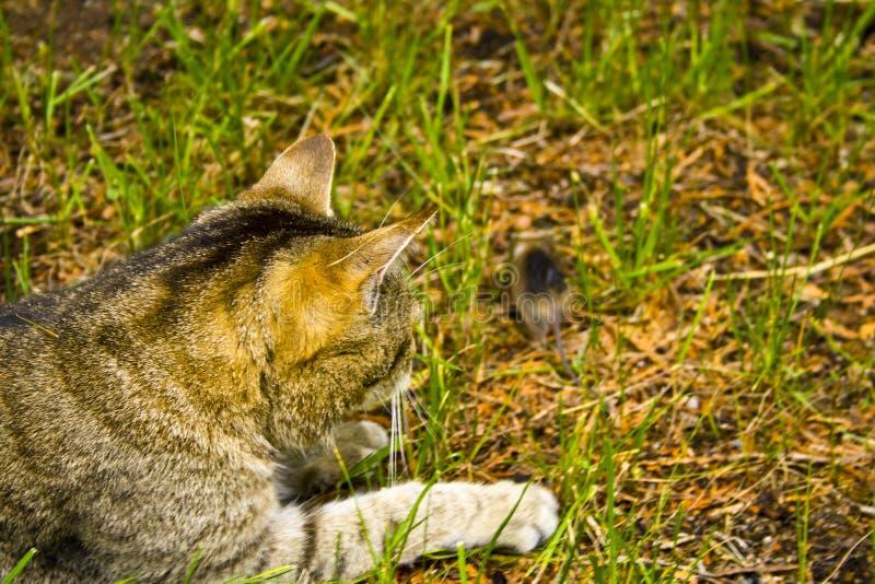 Un gatto sulla caccia nell'erba Un gatto appena prima l'attacco fotografia stock