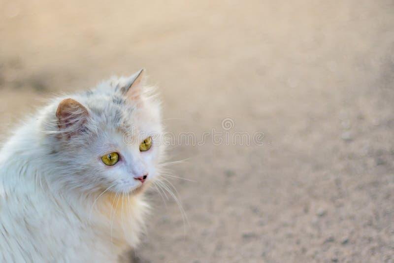 Un gatto sveglio e lanuginoso bianco con uno sguardo fidantesi Copi lo spase per te fotografia stock libera da diritti