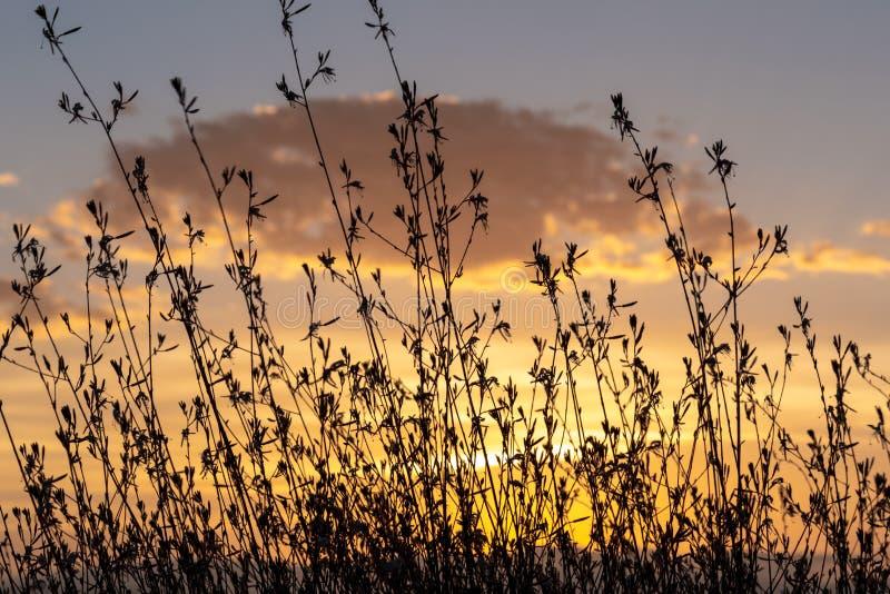 Un Gaura Belleza arbusto contra una puesta del sol de oro fotos de archivo libres de regalías