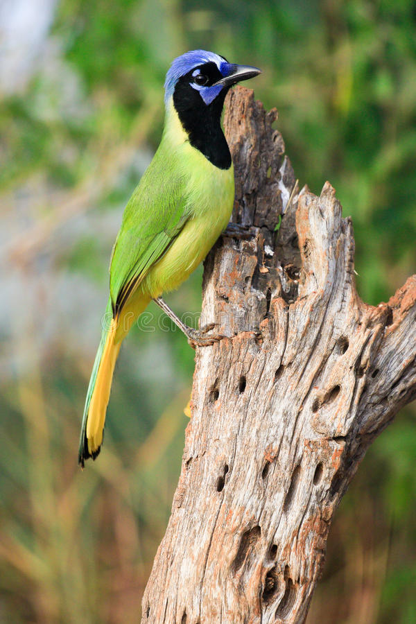 Un geai vert vigilant image libre de droits