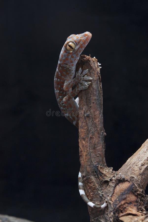 Un gecko tokay de bébé sur le bois de flottage image libre de droits